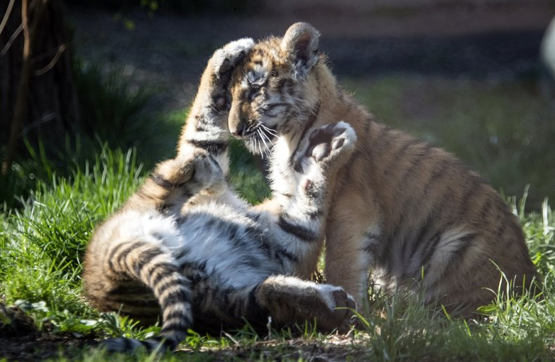 Endangered tiger cubs make first public appearances at zoo