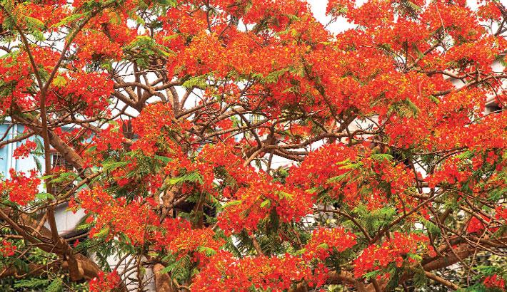 Krishnachura trees are in full blossom giving the nature
