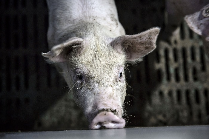 Pigs Are Seen as Next Big Thing in Xinjiang as Cotton Dims