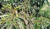 Bumper litchi production expected in Rangpur region