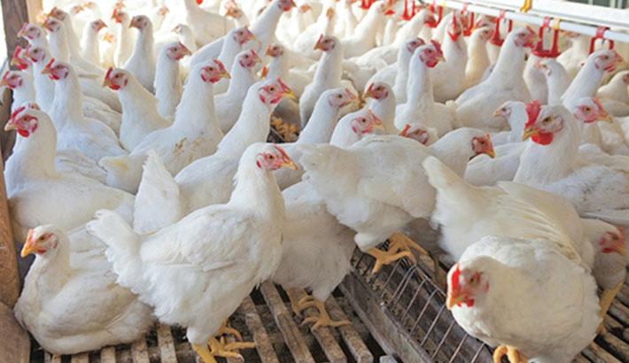 Chicken price drops