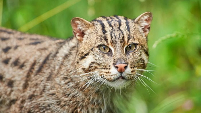 The fight to save India's most elusive cat