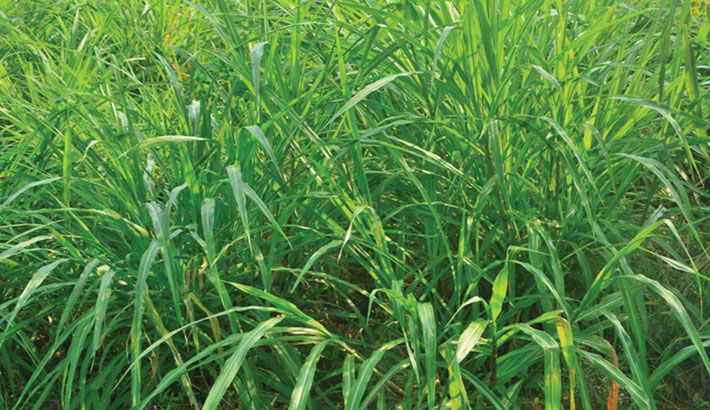 Napier grass farming brings fortune to farmers