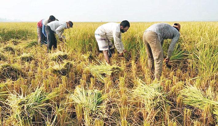 Boro harvesting begins in Narsingdi