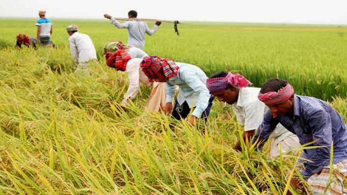 Jobless workers being sent to haor districts to cut Boro paddy