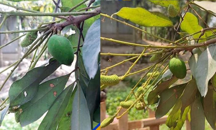 Mango-like fruit on lychee tree: Miracle or science?