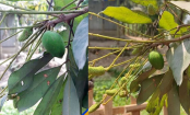 Mango-like fruit on lychee tree: Miracle or science?