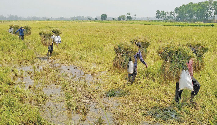Farmers are now busy harvesting Boro paddy across the country