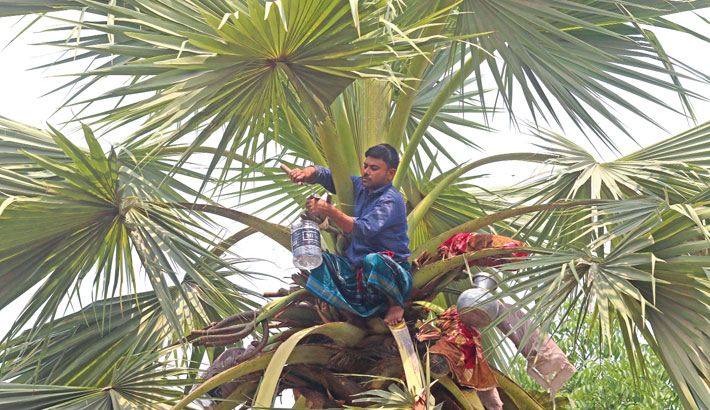 A man is seen collecting sap from a palm tree