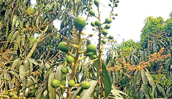 Drought may affect mango yield in C'Nawabganj