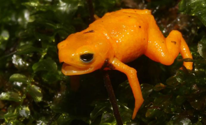 A new species of cute but poisonous 'pumpkin' toads discovered in Brazil