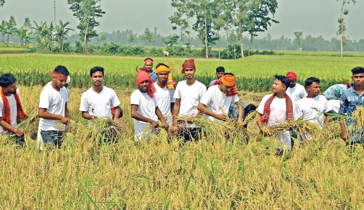 Student wing of Bangladesh Awami League join hands with farmers in harvesting Boro paddy