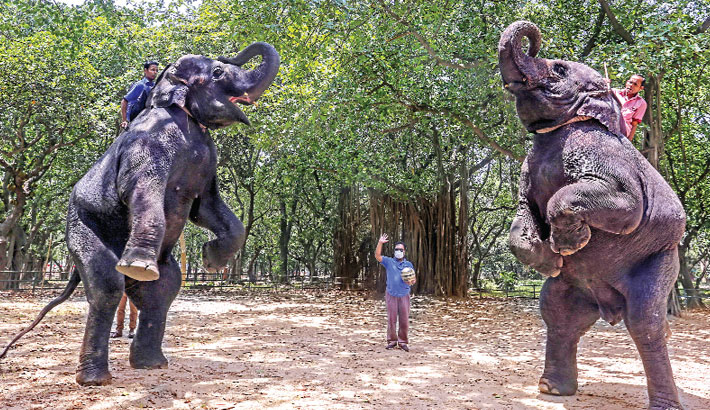 Two mahouts are training their elephants on how to play football during