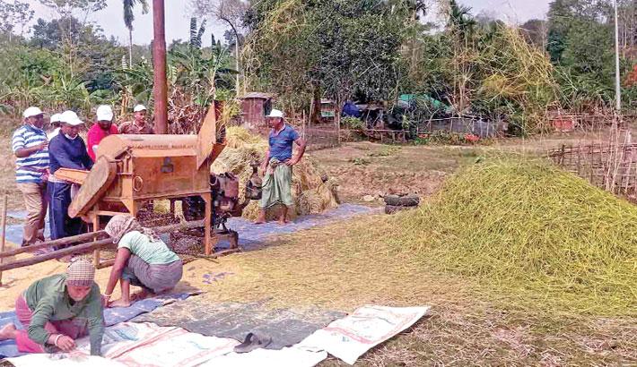 Boro paddy from stalks by using a threshing machine