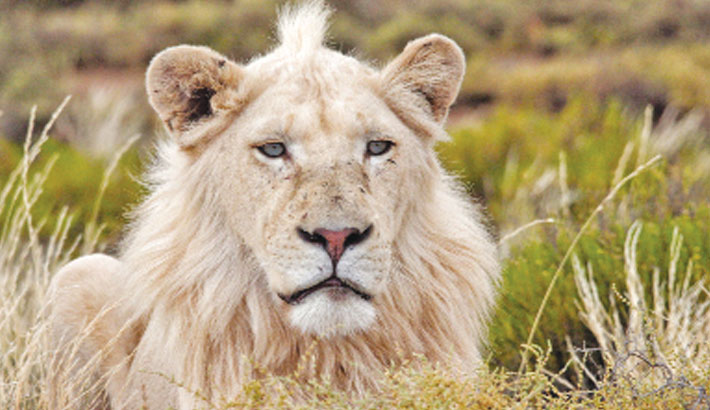 S Africa to ban breeding lions in captivity for hunting