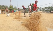 Farmers are busy threshing and drying paddy