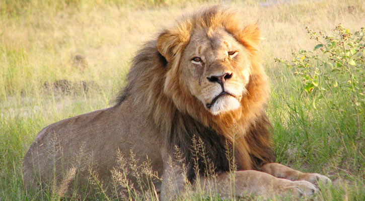 Eight Asiatic lions test positive in COVID-19, first in India