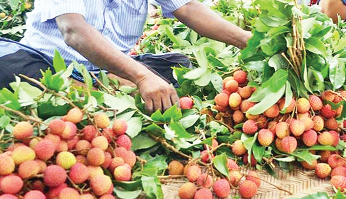 Litchi starts appearing in Rajshahi markets