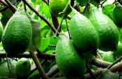 Colombo lemon farming changes Narsingdi unemployed youths' fate