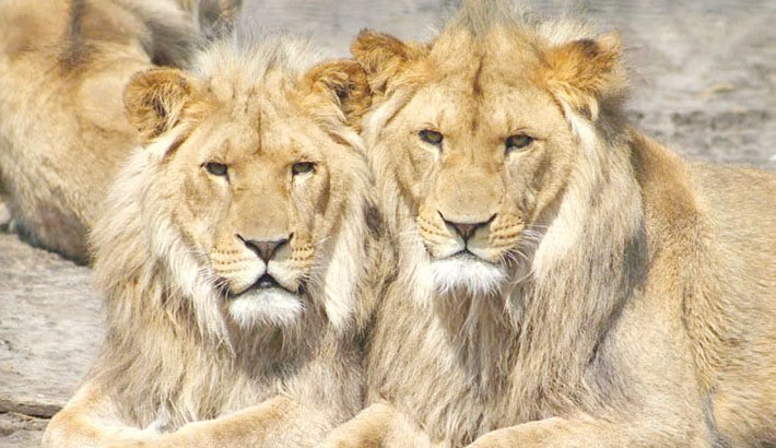 8 lions in Indian zoo test positive for corona