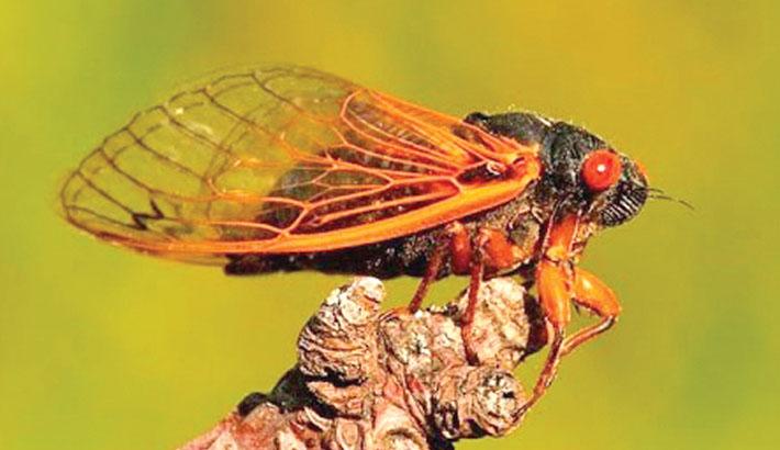 Billions of cicadas to emerge after 17 years underground