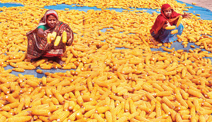 Women are busy drying maize