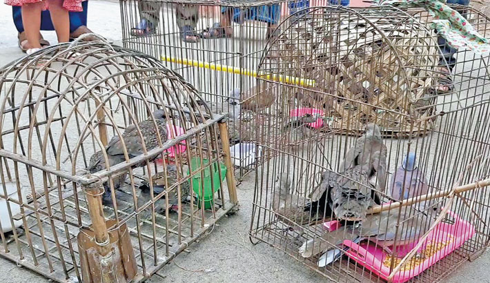The district forest department of Patuakhali rescued 18 Doves and two Gallinules