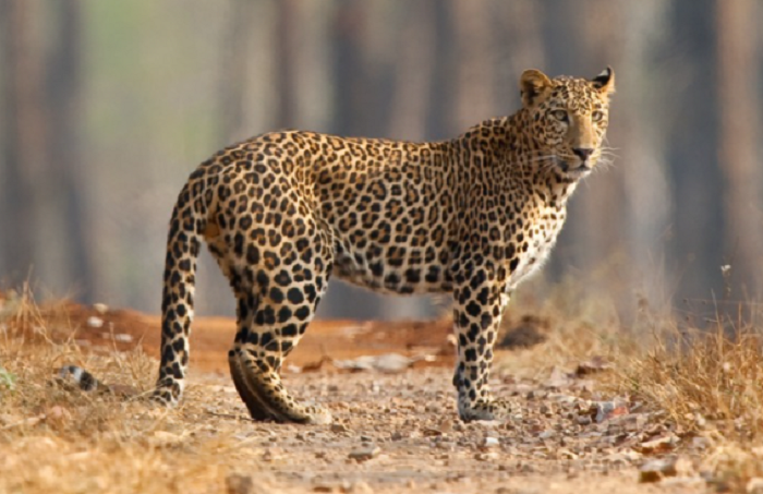 China: Search for leopard missing more than a week