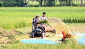 Rice prices drop as Boro harvest begins