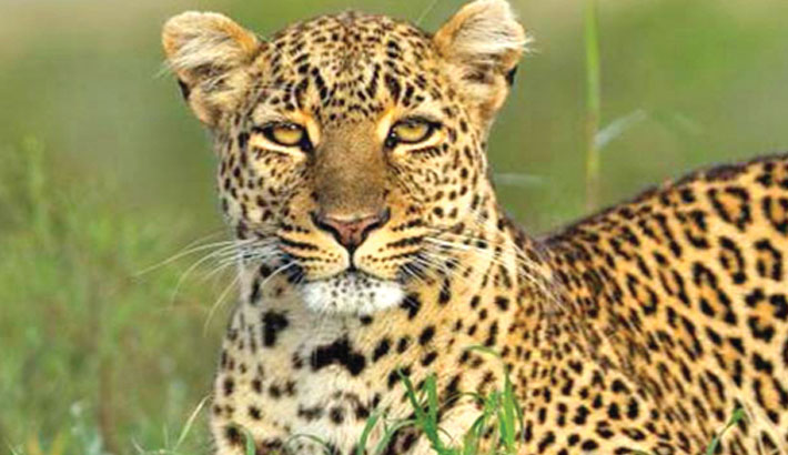 Leopard on the loose in China after zoo escape