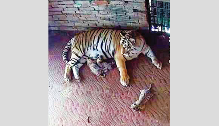 Ctg Zoo welcomes 3 tiger cubs