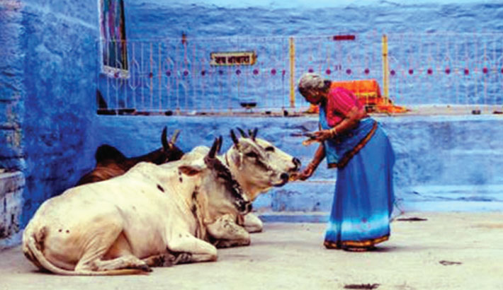 Indian doctors warn against cow dung as corona cure