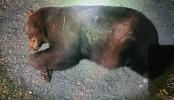 260-pound black bear struck, killed in Kentucky car crash