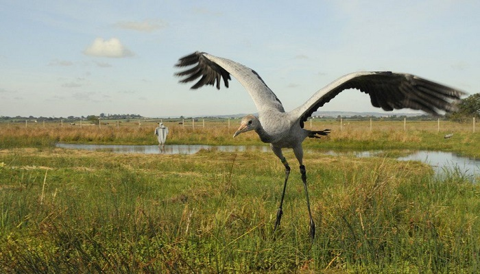 Cranes: Flying giant returning to Ireland after 300 years