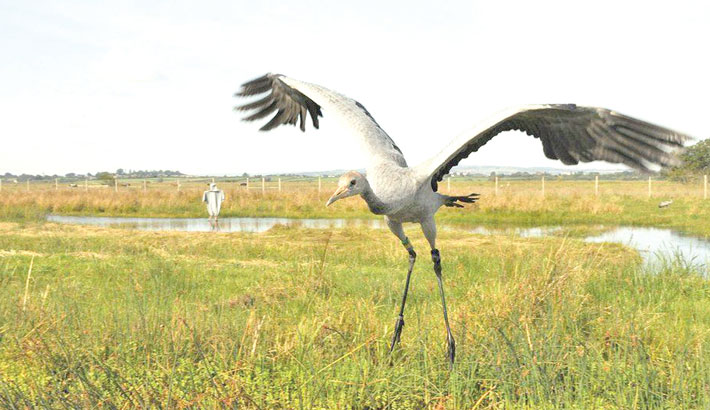Giant bird returning to Ireland after 300 years