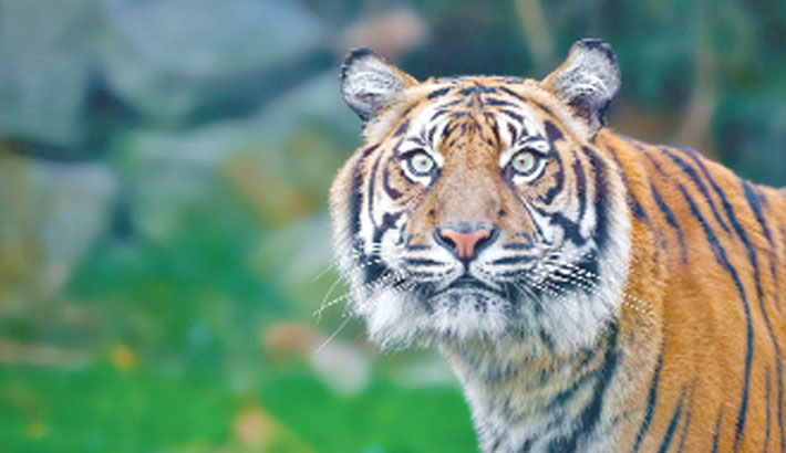 Bengal tiger found unharmed after missing in Texas