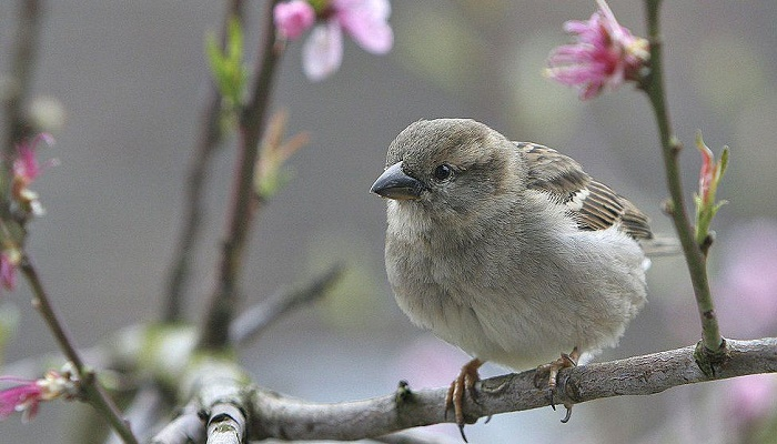 More than a billion sparrows in the world, study finds