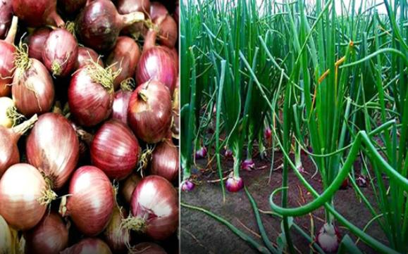 Farmers produce record 1.06 lakh tonnes of onion in Rangpur region
