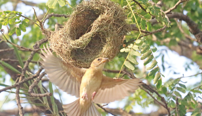 Weaver birds are known for their elaborately interwoven nest made from leaf fibres like a basket