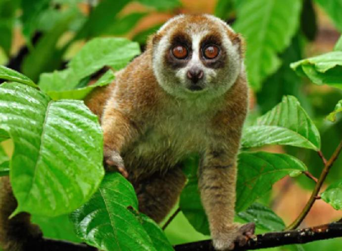 Rare Lojjaboti monkey rescued in Baghaichhari