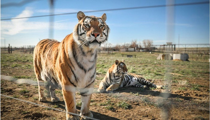 Big cats seized from zoo in Netflix's Tiger King