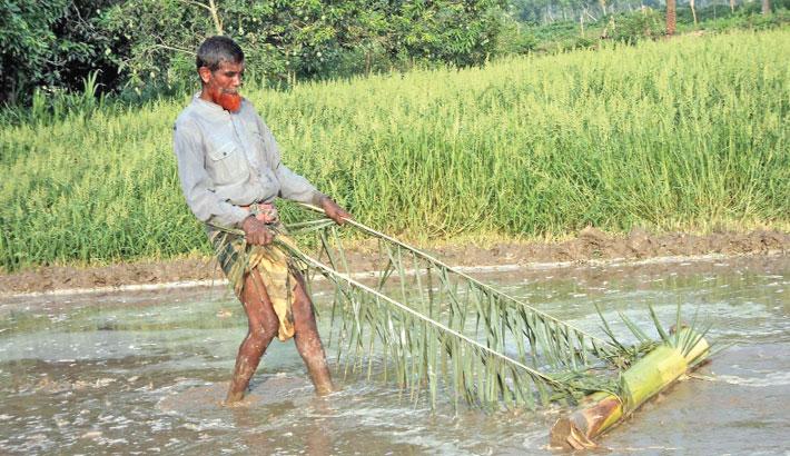 Using traditional method, a farmer is preparing his land for planting Aush seedlings