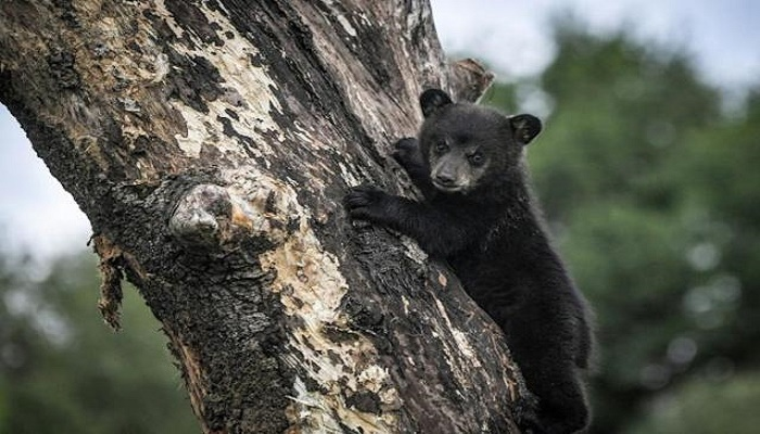 Bear cub causes trouble in Montreal