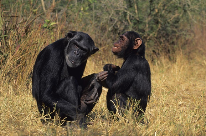 Chimps learn 'handshakes' according to social group: study