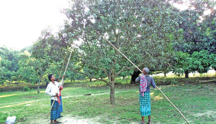 People are busy harvesting mangoes from an orchard