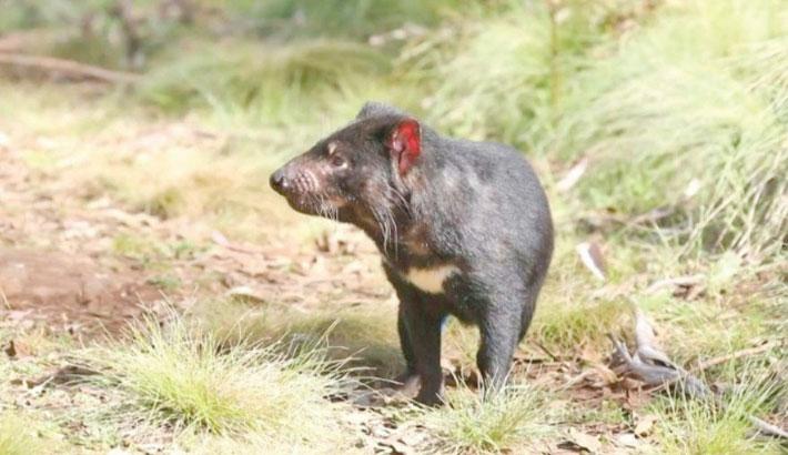Tasmanian devils born on Australian mainland after 3,000yrs