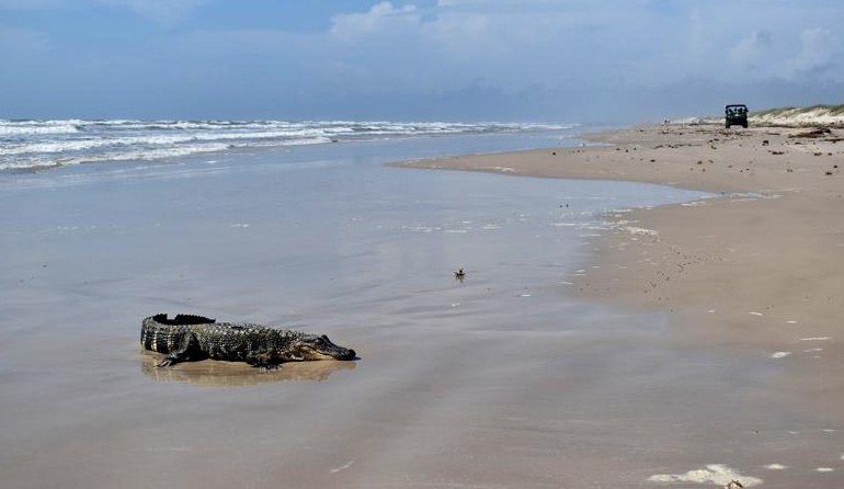Louisiana gator swaps swamp life for Texas beach getaway