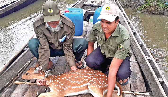 Patuakhali forest guards rescued a Chitra Deer