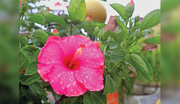 Raindrops on a China rose flower look like pearls