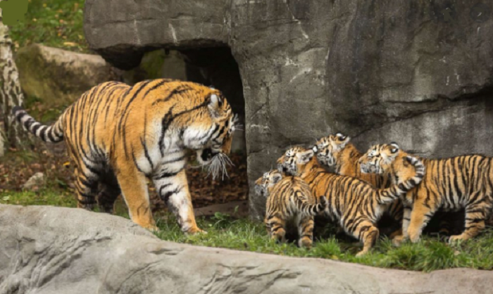 Over 40 tiger cubs spotted in Madhya Pradesh's Bandhavgarh Reserve